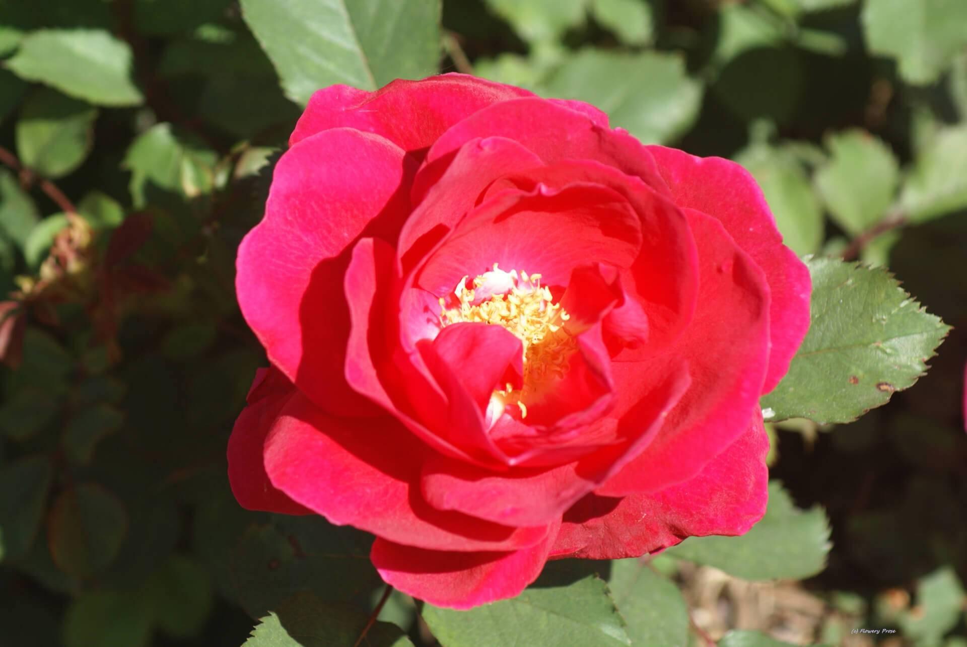 О сортах парковых роз: описание и характеристики, посадка, уход, выращивание