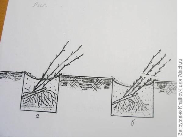 Осенняя пересадка крыжовника: оптимальные сроки и технология пересадки