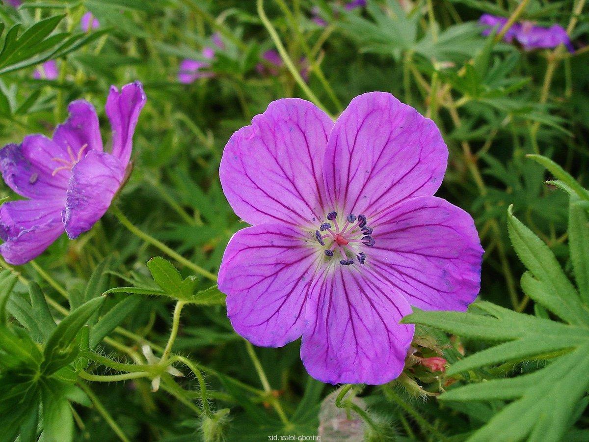 Цветы герань: фото листьев и корней с описаниями. полезные лечебные свойства герани и применение