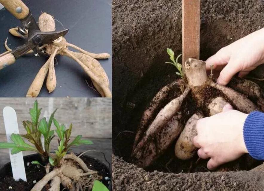 Чем подкормить георгины в саду: оптимальная периодичность и схемы внесения