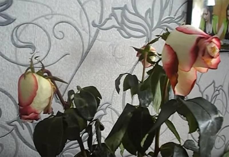 Как сохранить розы в вазе подольше: 6 хитростей для прекрасных дам в преддверии 8 марта