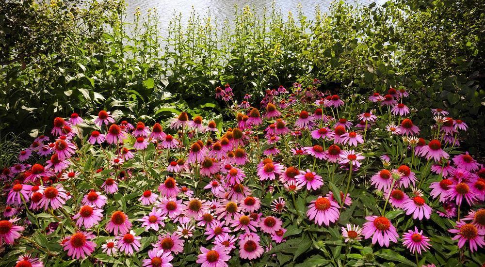 Эхинацея – посадка и уход в открытом грунте, фото цветов