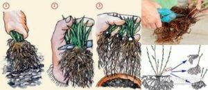 Способы размножения смородины по сезонам: черенкование, отводки, деление куста