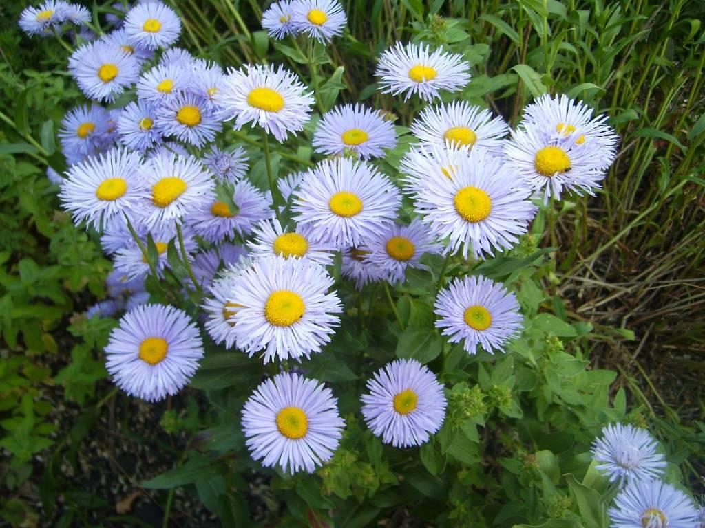 Роза многоцветковая вечноцветущая мини садовый аромат: выращивание