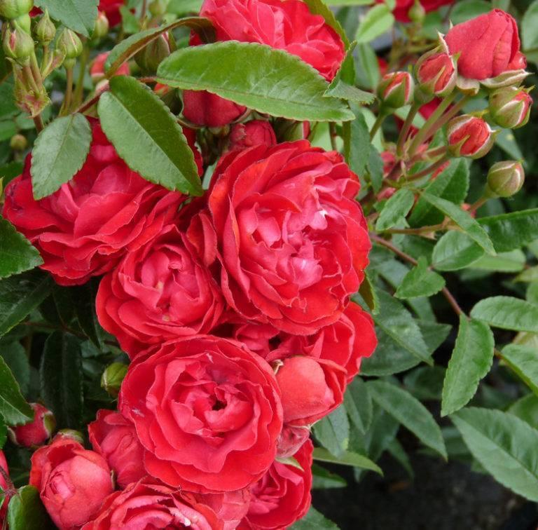 Полиантовые розы: описание, особенности выращивания и ухода