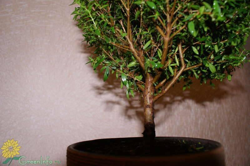 Болезни и вредители вечнозеленого мирта: что делать если листья засохли, опадают и скручиваются?