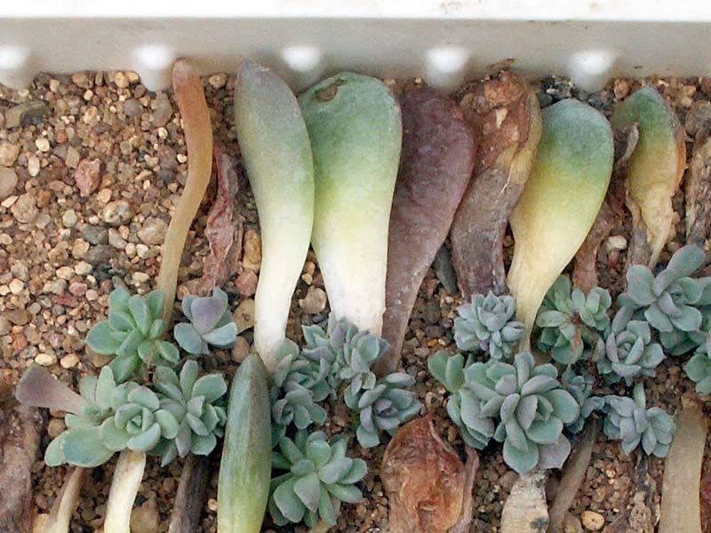 Эхеверия: описание растения, посадка, уход, размножение, болезни, фото - читайте на орхис