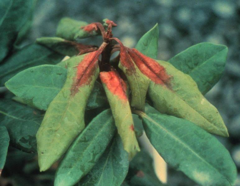 Вредители и болезни рододендронов, их лечение и борьба с ними
