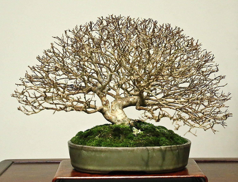 Как вырастить бонсай из дуба в домашних условиях: корневая обрезка и удобрение