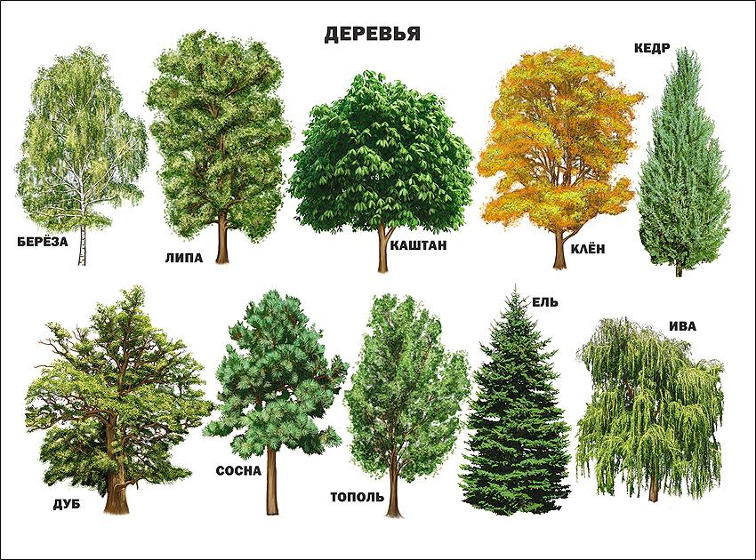 картинки деревьев с названиями и цветами елочек
