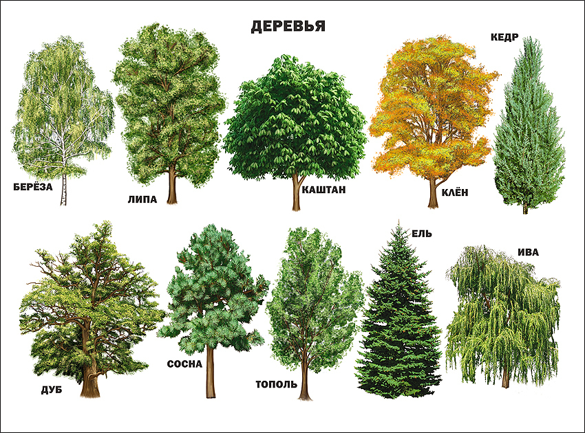 название деревьев с картинками в сибири