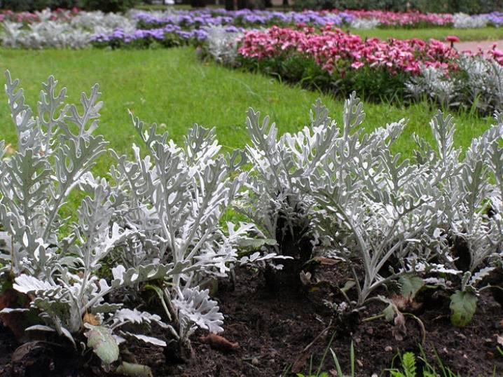 Цинерария серебристая из семян – посадка и уход в открытом грунте