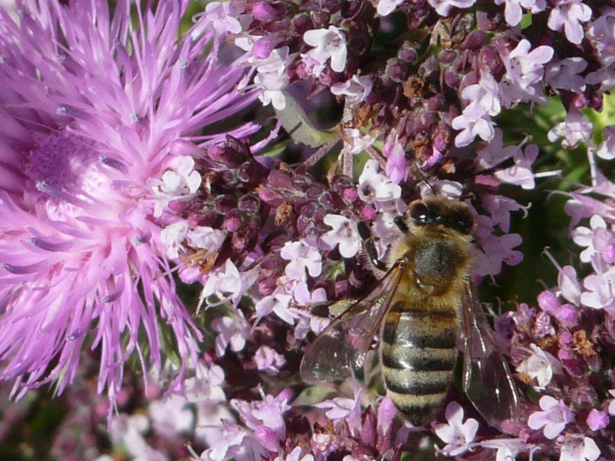 средняя полоса медоносная трава для пчел фото цены, честные