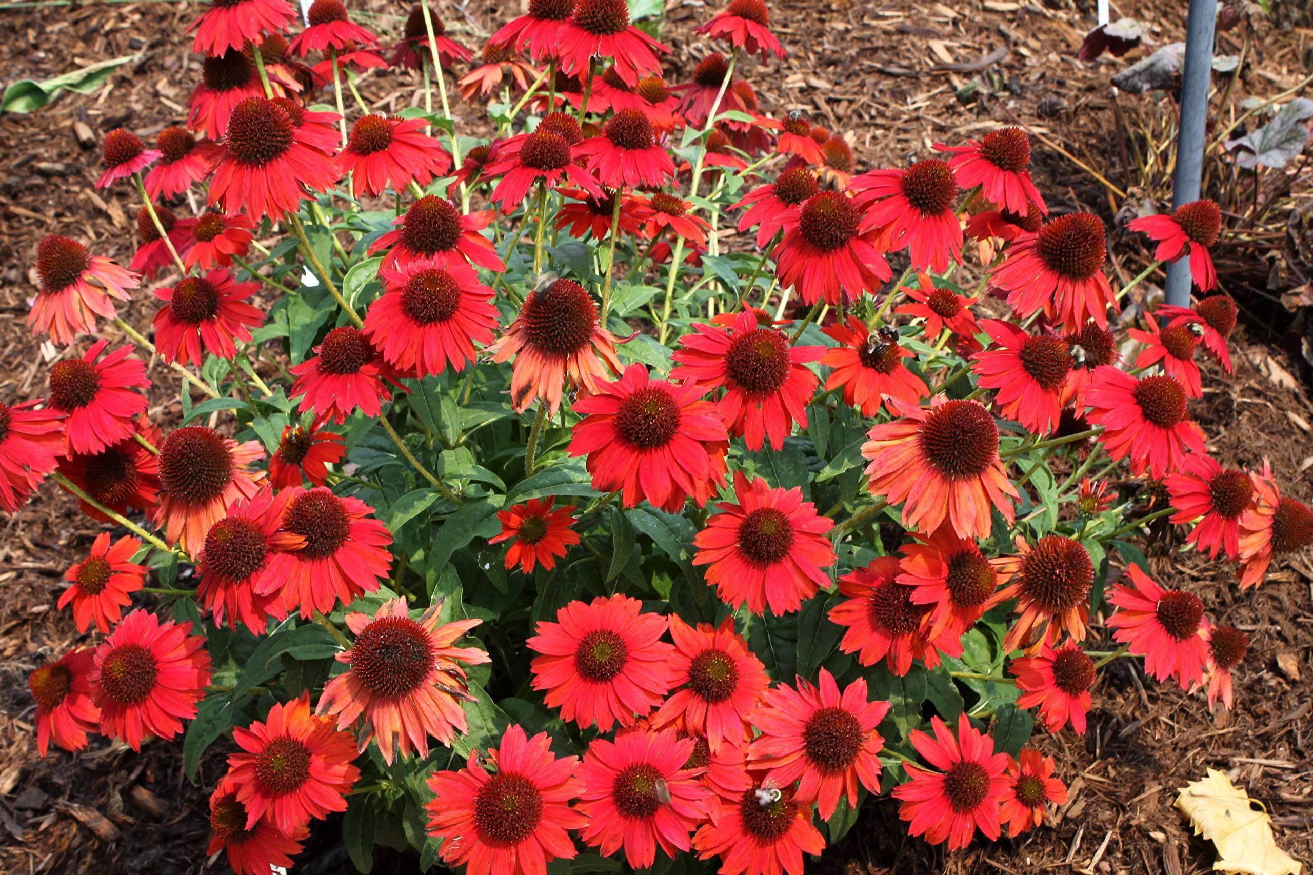 Садовая эхинацея – посадка и уход