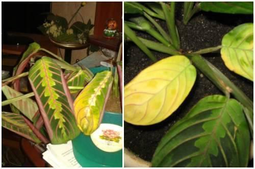 Почему желтеют кончики и края листьев у комнатных растений