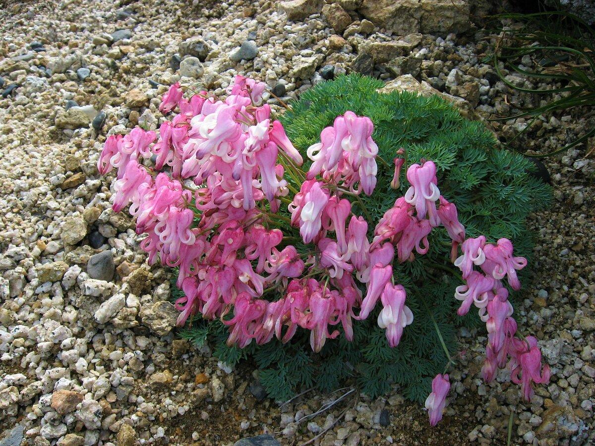Цветок хохлатка: как выглядит, фото и описание разных видов растения, выращивание в открытом грунте