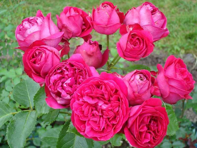 Роза фишерман френд