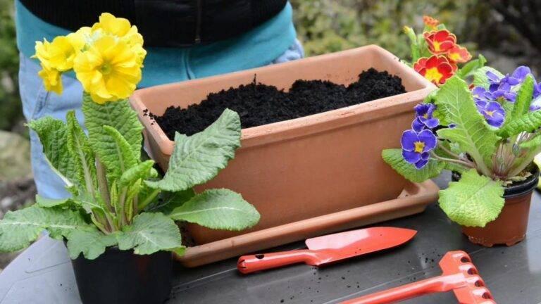 Комнатная примула. выращивание и уход в домашних условиях.
