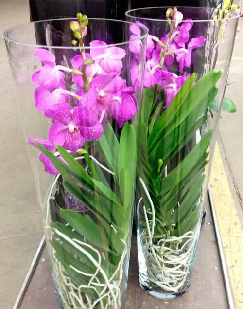 Орхидея фаленопсис: основные виды и варианты ухода в домашних условиях