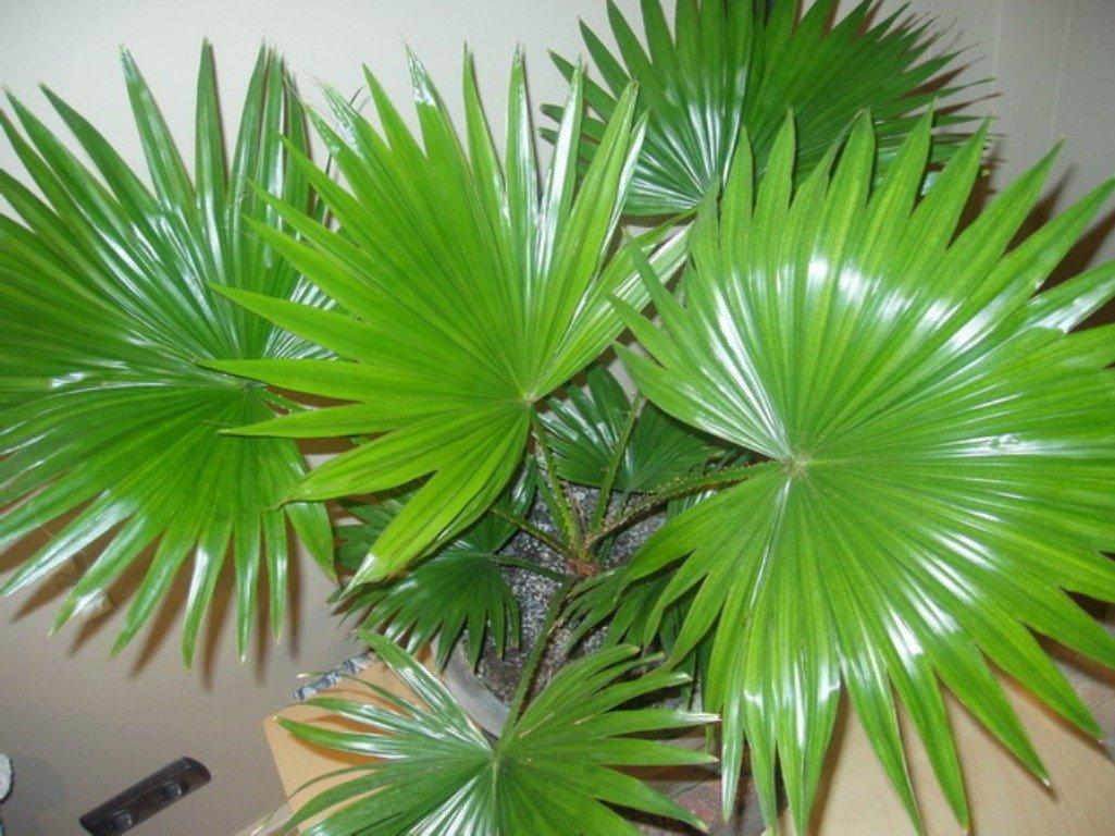 пальма домашняя листы фото сей день существуют