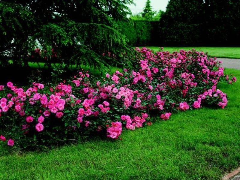 Посадка почвопокровных роз и особенности уход за стелющимися сортами
