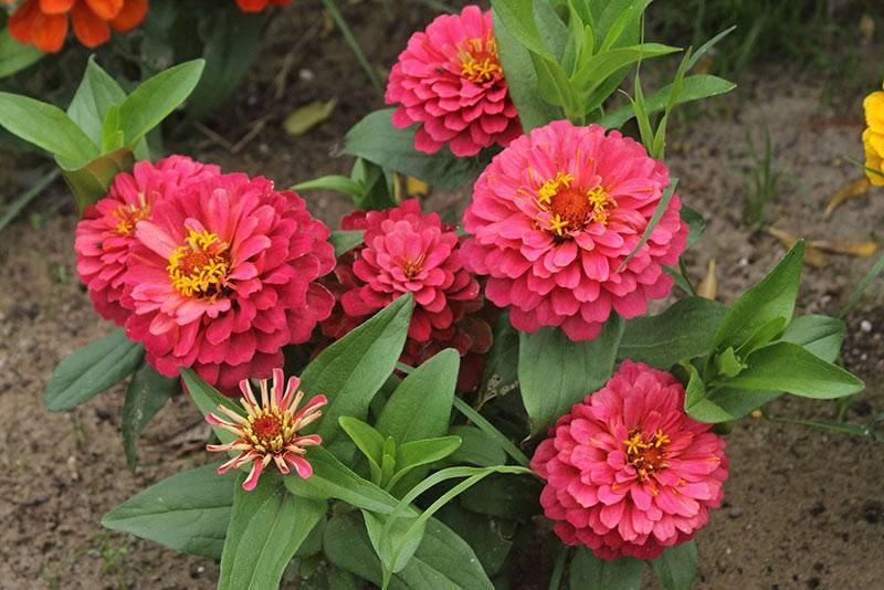 Цинния изящная – лучшее украшение для вашего сада!