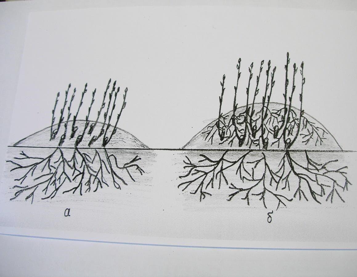 Способы размножения форзиции