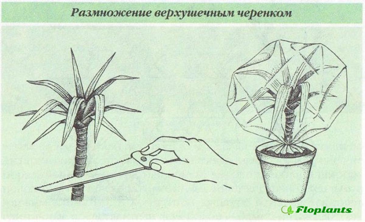 Молочай окаймленный: посадка и уход в открытом грунте