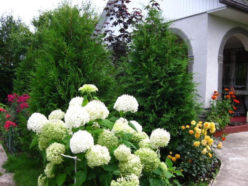 Клумба с гортензией — схема посадки кустов