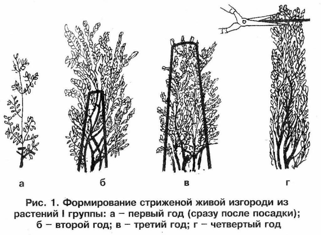 Бугенвиллия — уход и содержание в открытом грунте