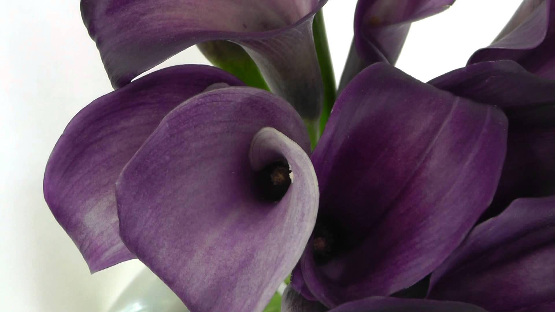 Каллы: посадка и уход в открытом грунте и домашних условиях