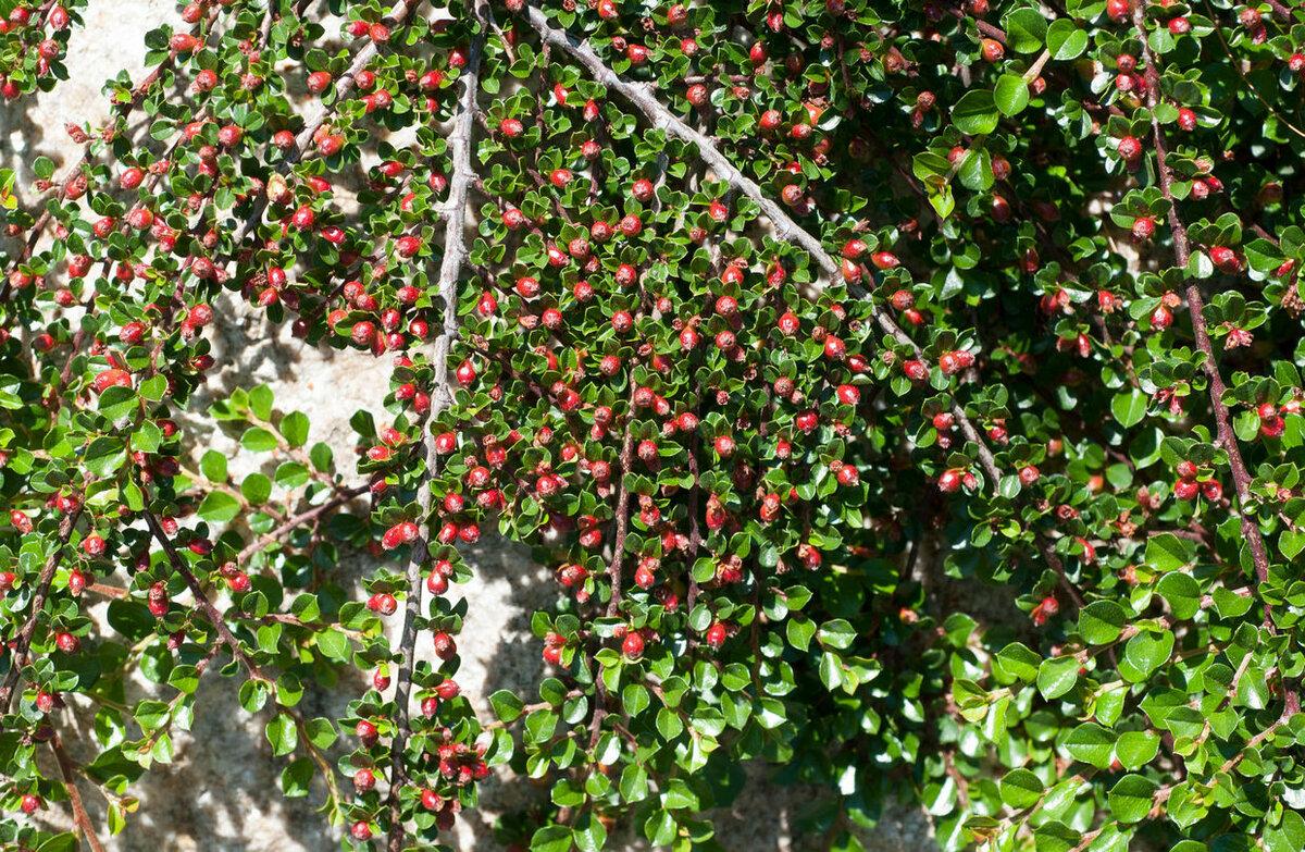 Кизил грушевидный: польза и вред, описание, агротехника выращивания