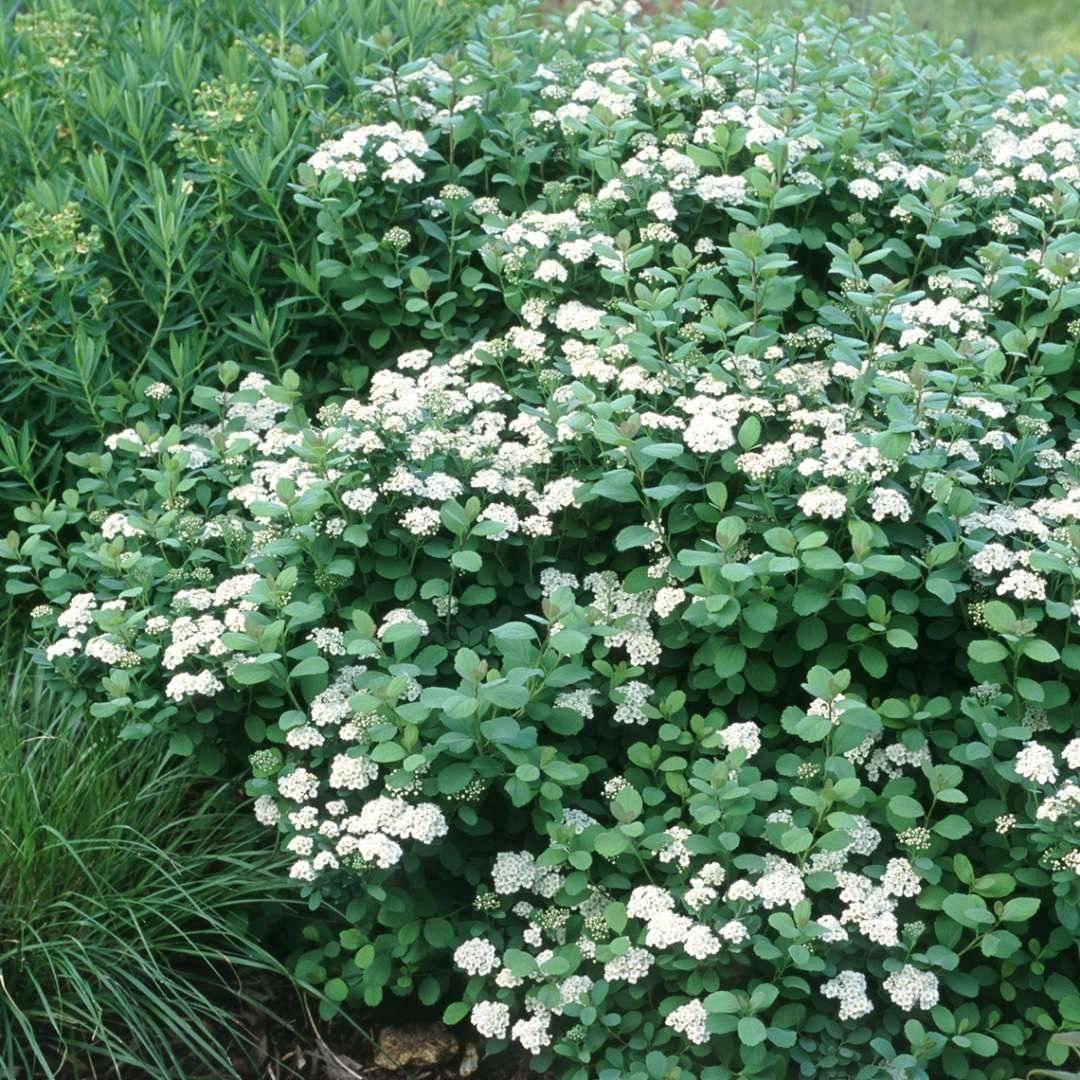 Спирея (76 фото): описание кустарника. как вырастить кусты спиреи в разных условиях? болезни и их лечение