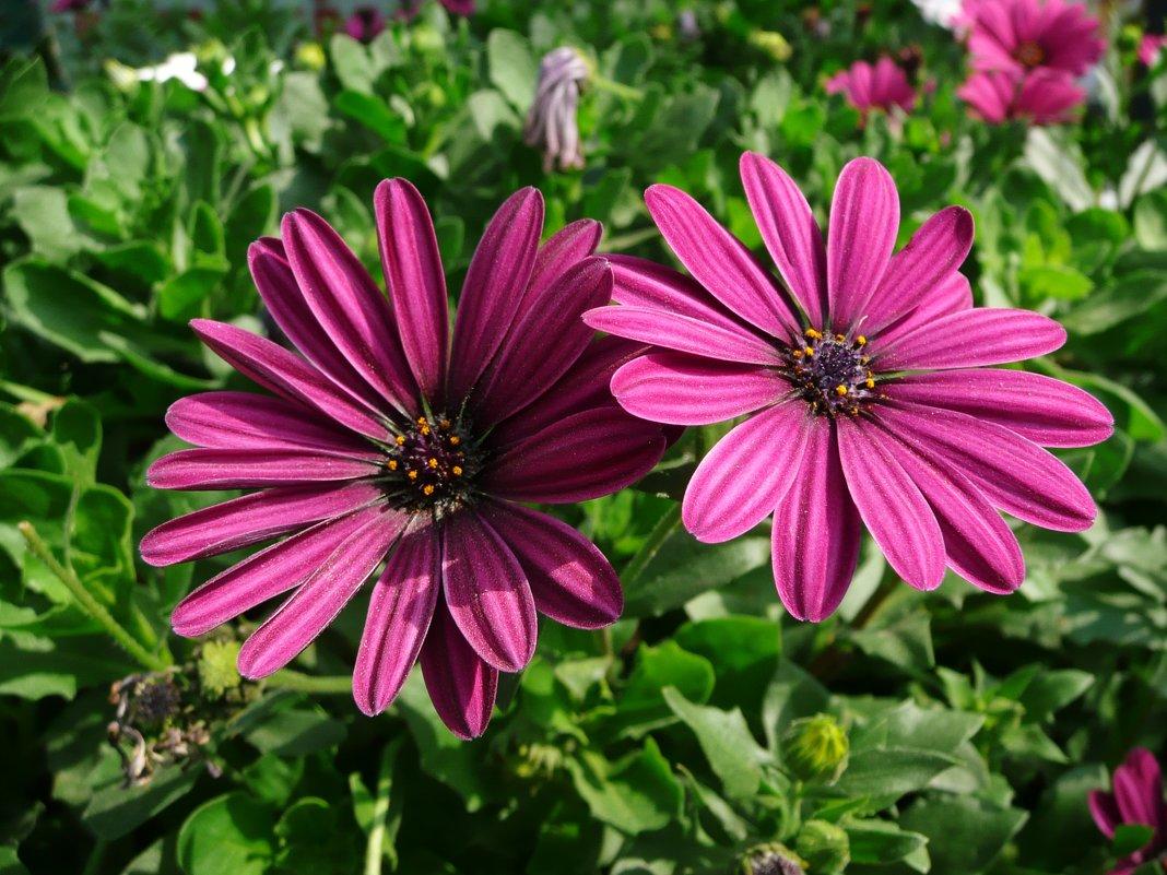 Остеоспермум: посадка и выращивание из семян в домашних условиях