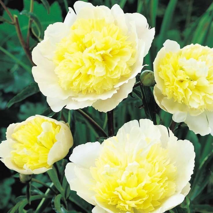 Желтые травянистые пионы сорта. посадка и уход. сорта пионов ито-гибридов желтых цветов.