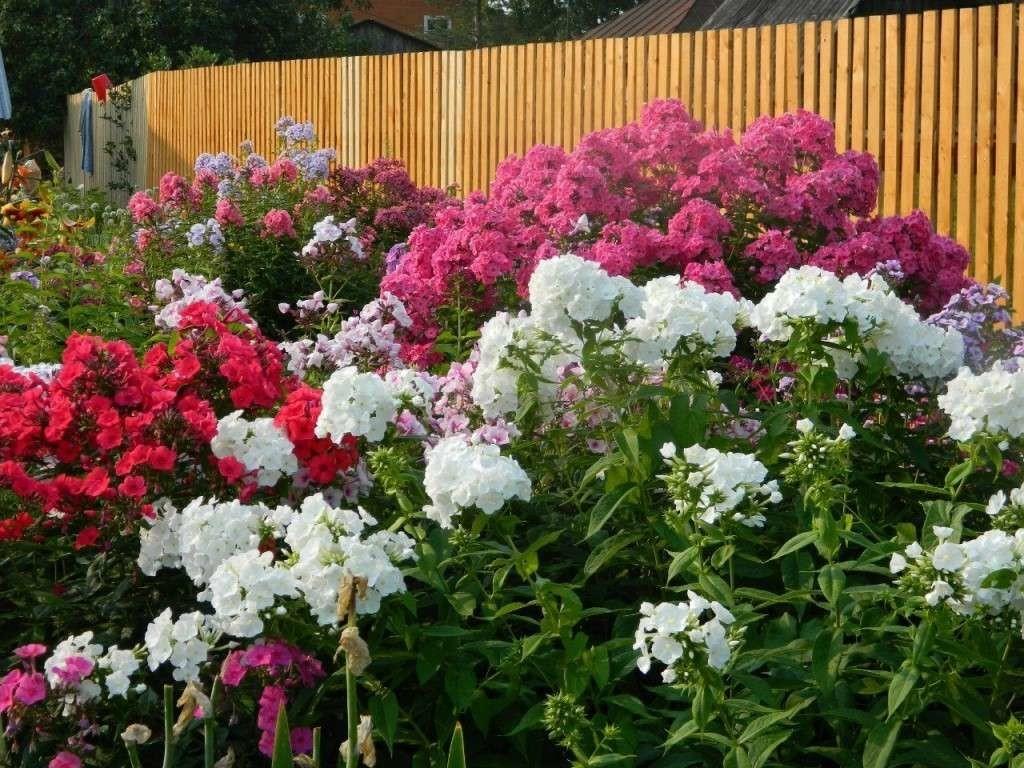 Когда и как сажать и выращивать флоксы в саду