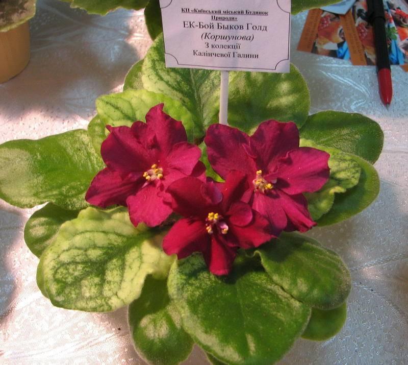 О разновидностях фиалок: розовых, синих, бордовых, красных, с зеленой каймой