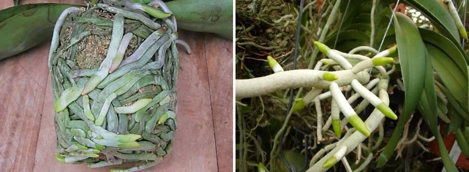 Много воздушных корней орхидей: обрезать, закапывать или оставить