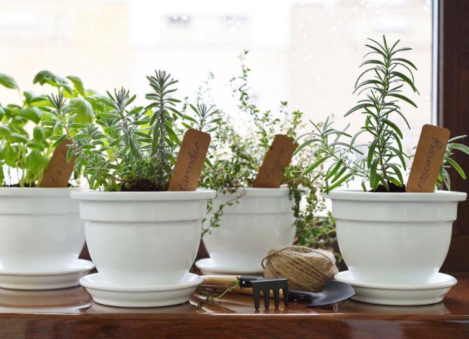 Как вырастить мяту дома: способы посадки и уход