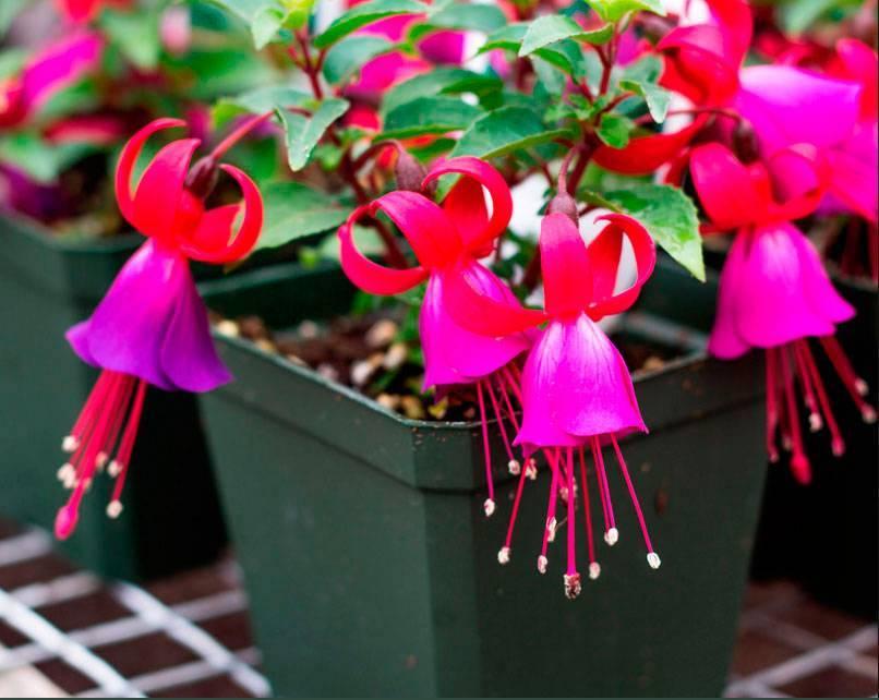 Уход и выращивание фуксии (36 фото): как вырастить и ухаживать за фуксией в саду осенью? в какой горшок сажать?