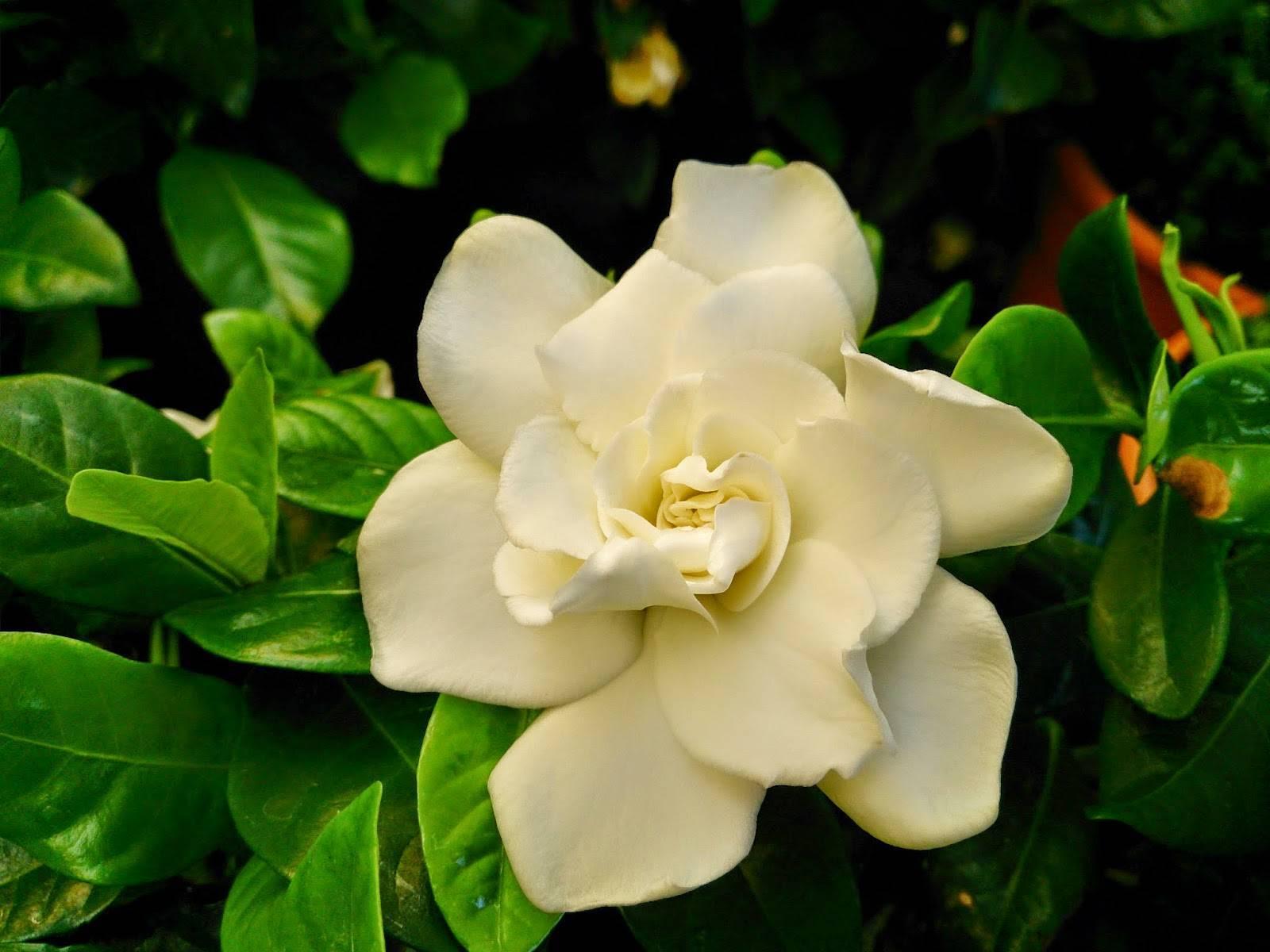 Цветы гардения жасминовидная: фото и уход в домашних условиях, размножение
