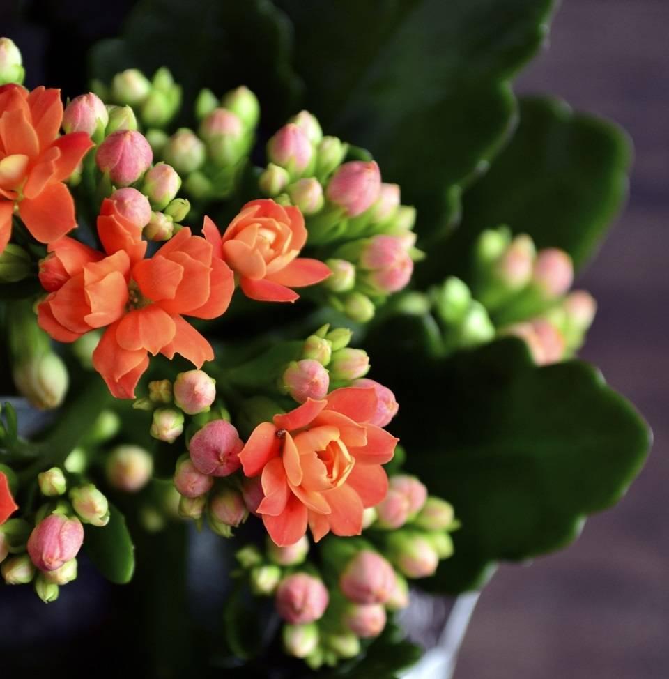 Крассула микс — как ухаживать за цветком