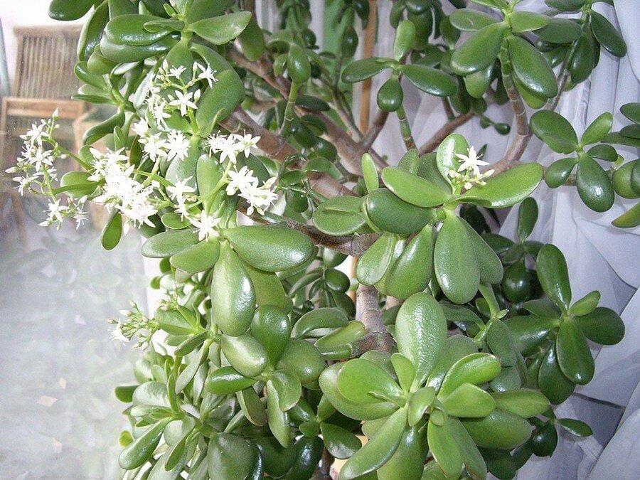 Крассулы – хоббит и голлум необычный вид денежного дерева