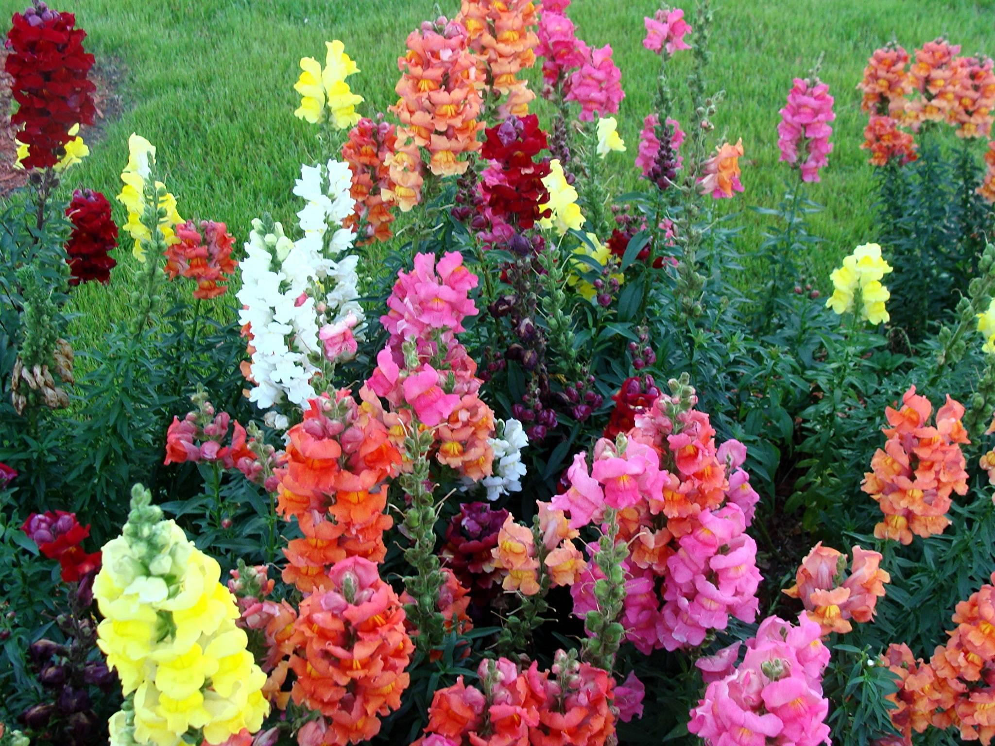 Сорта львиного зева: многолетние, однолетние, выращивание из семян, когда сажать