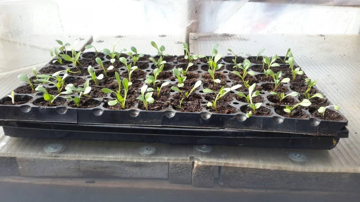 Аквилегия выращивание из семян когда сажать и пикировать