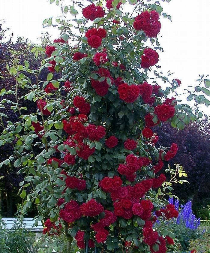 Как правильно сажать почвопокровные розы. почвопокровные розы: сорта, фото, цены, уход