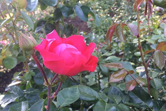 Роза коко локо (koko loko) — описание сортового цветка