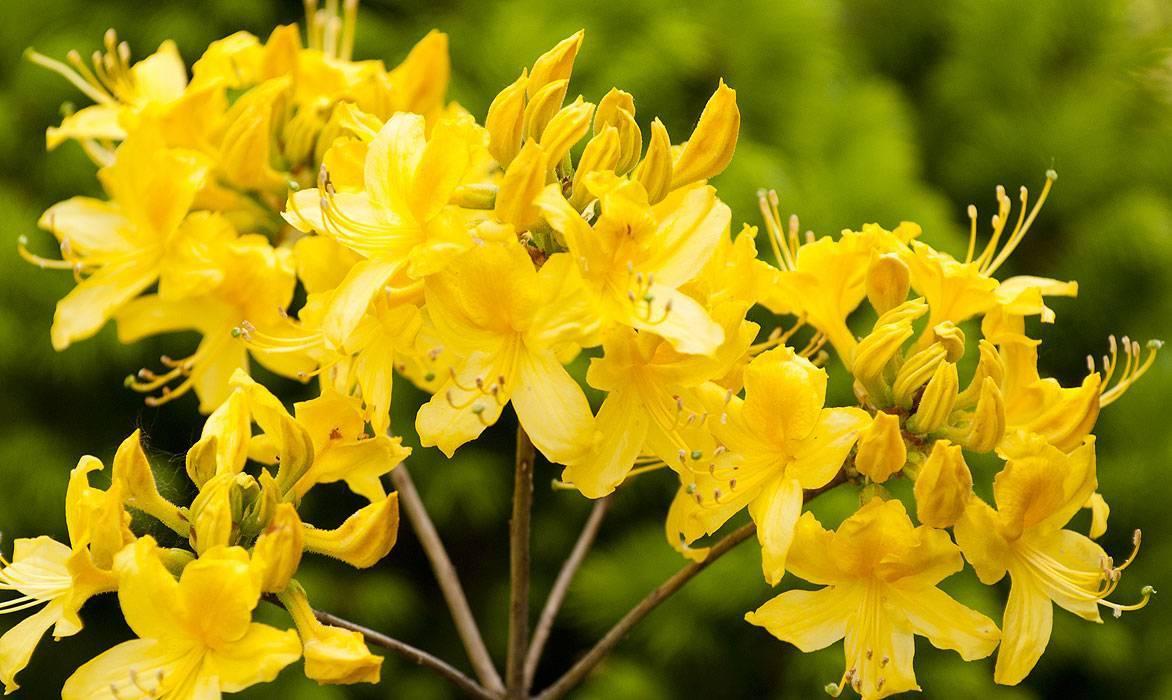 Азалия и рододендрон: отличия, история, родина, а так же описание и характеристика растений с фото