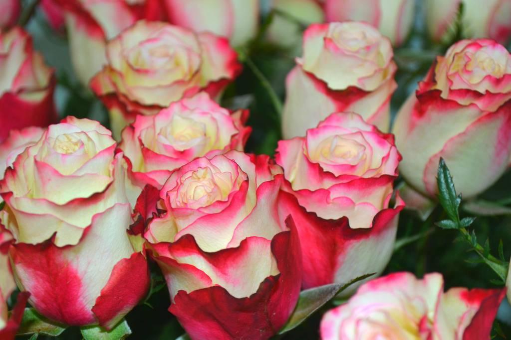 Сорта роз с описаниями, названиями и фото