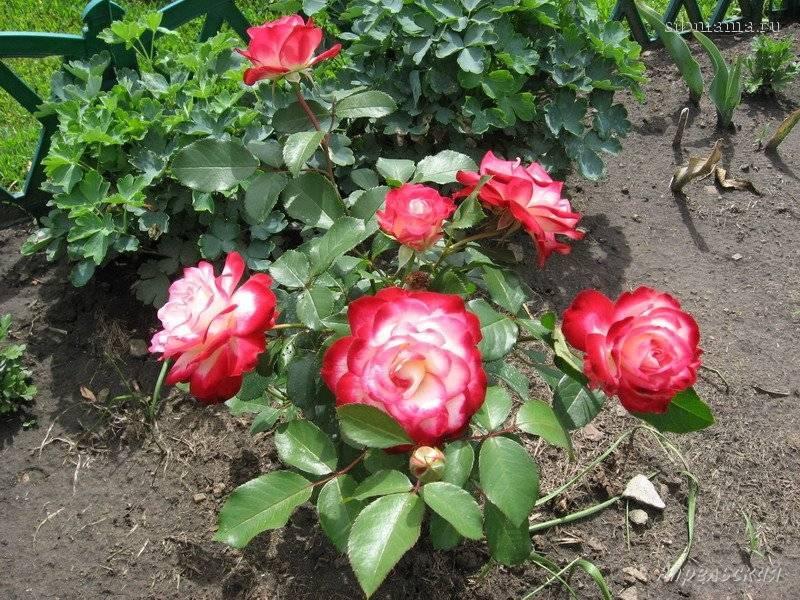 Описание розы «юбилей принца монако» с фото и видео